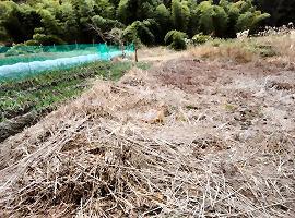 3月か4月ぐらいに刈って畑にする予定