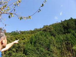 向かいの山に1本大きな樹があるでしょ。 桜かな?コブシかな?咲くんですよ!