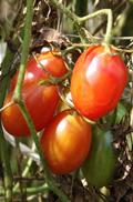 tomato03910