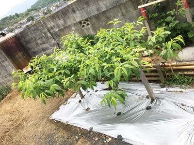 初めて植えた桃の木