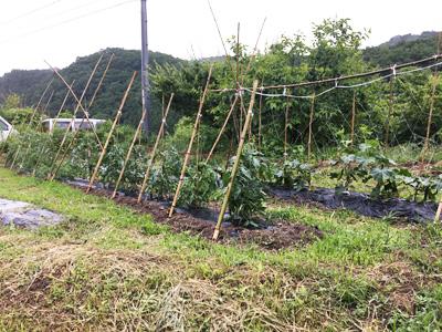 きゅうり、トマト等植えている畑