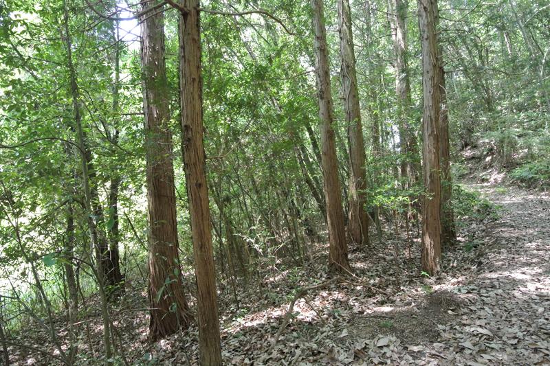 杉の植林部分