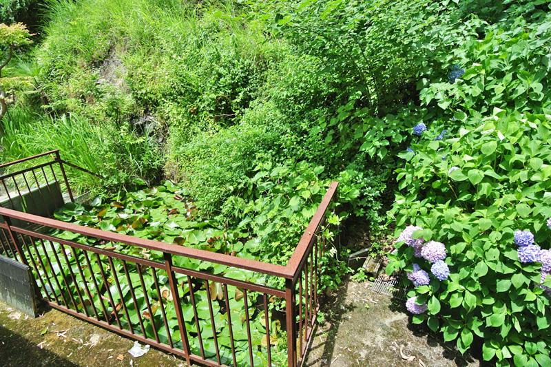 家屋裏にある、蓮の池とアジサイ
