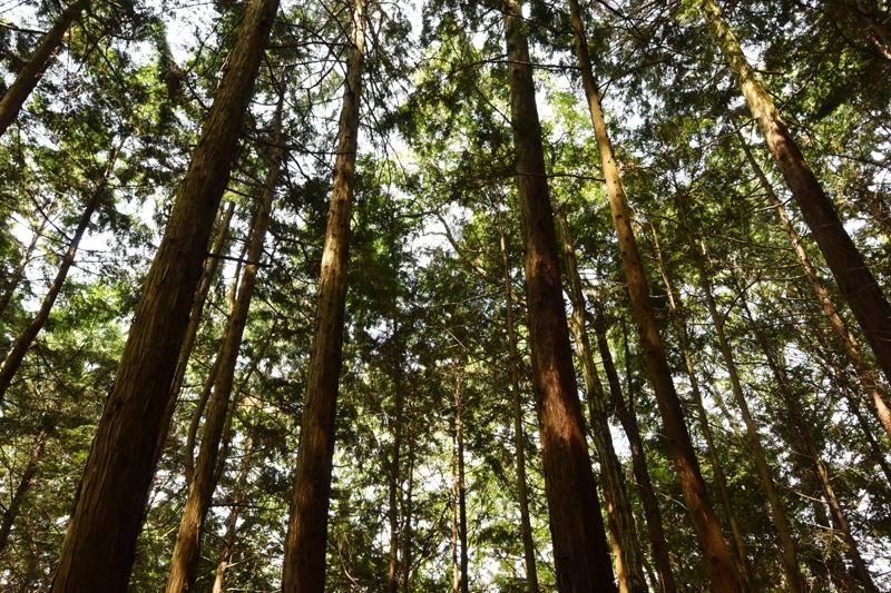 ヒノキ植林