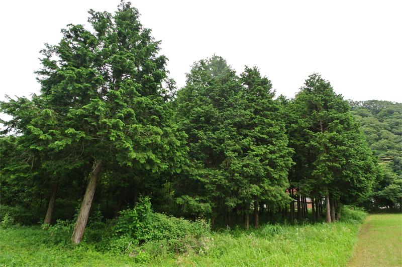 植林されたヒノキ