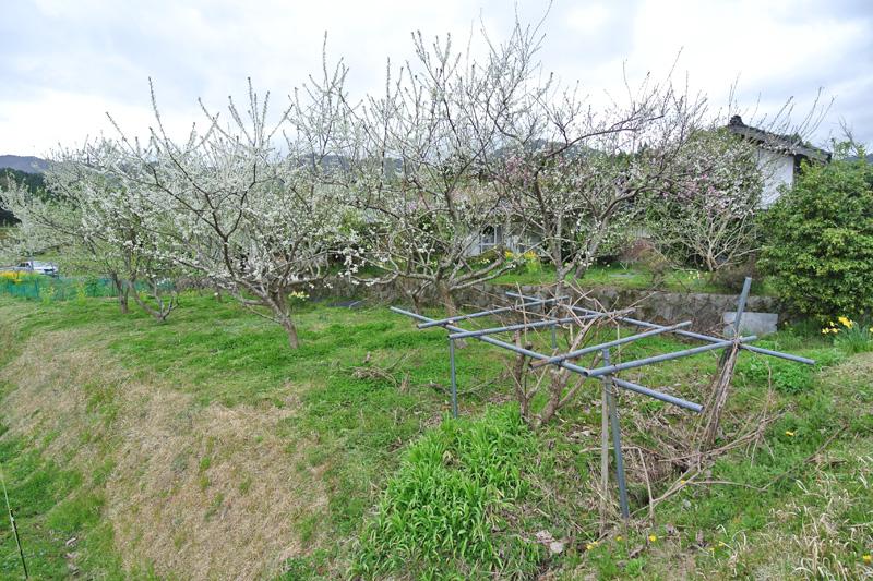 敷地内の果樹(スモモ)