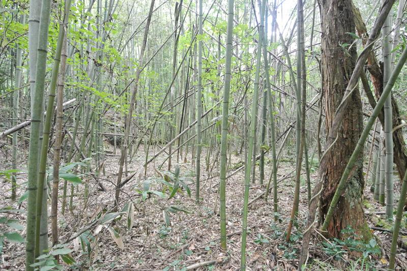 竹林の平坦部